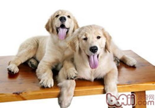 狗狗性格也会随主人-成犬饲养